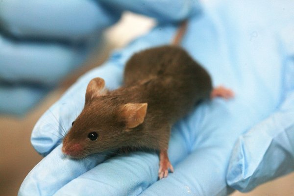 Ученые впервые протестировали генное редактирование на млекопитающих