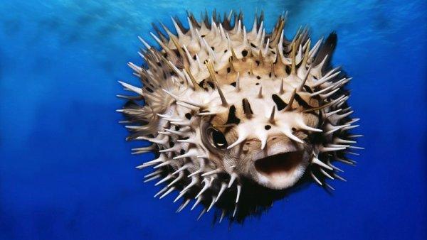 Возле Севастополя поймали смертоносную рыбу фугу из Японии