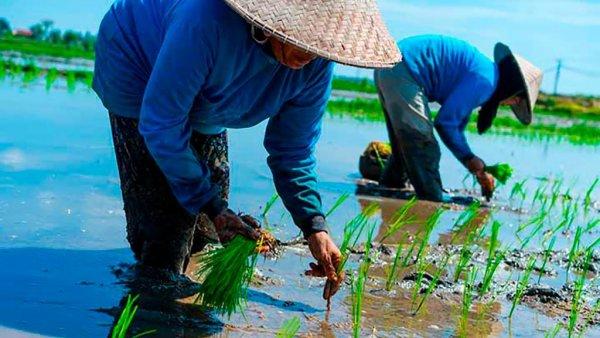 К глобальному потеплению готовы: Выведен уникальный сорт риса, готовый к аномальным холодам