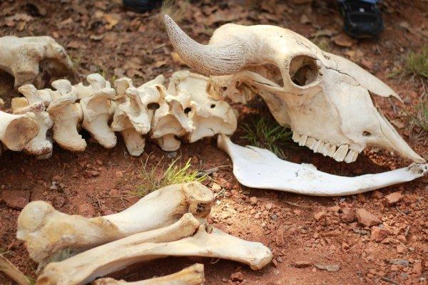 Археологи нашли кости неизвестного парнокопытного, жившего в ледниковый период