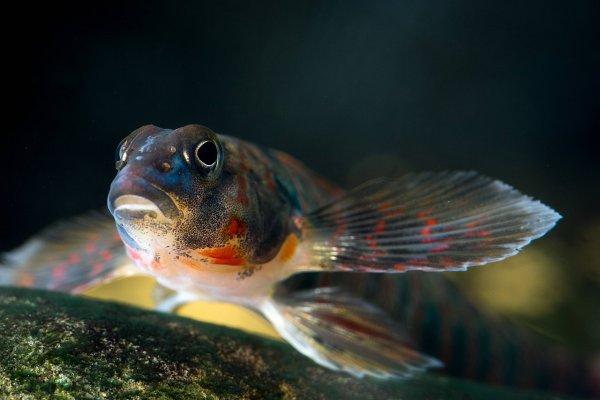 Ученые: Радужный окрас самцов рыб-дартеров обосновывается конкуренцией