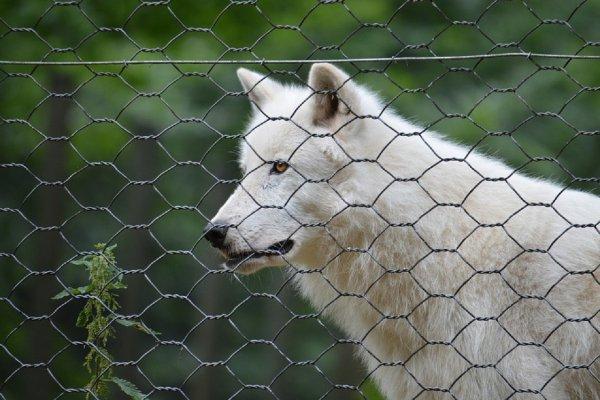 В зоопарк Красноярска завезли удмуртского «лютоволка» из «Игры престолов»