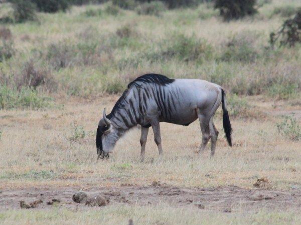 Почти верблюды: Ученые объяснили, почему голубые гну долго не испытывают жажды