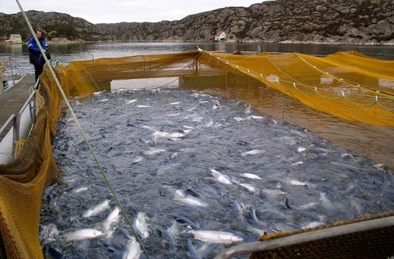 Тюменское предприятие развивает производство местной рыбы