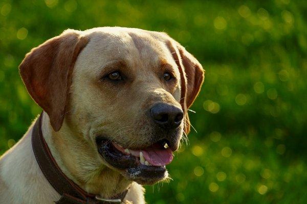 Собаки научились определять больных малярией людей по запаху носков