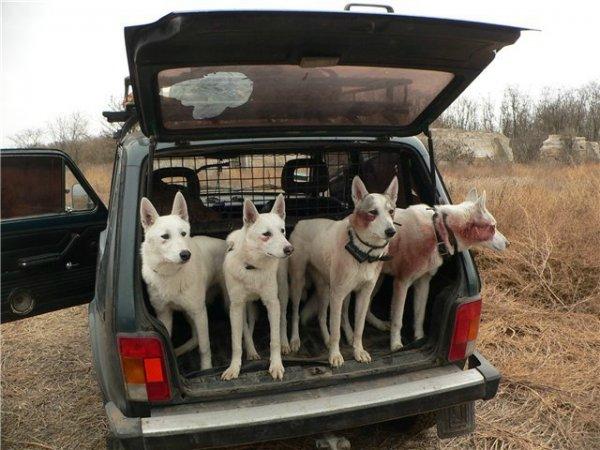 «Собачий тест-драйв»: Езда «Нивы» на упряжке с псами «взорвала» сеть