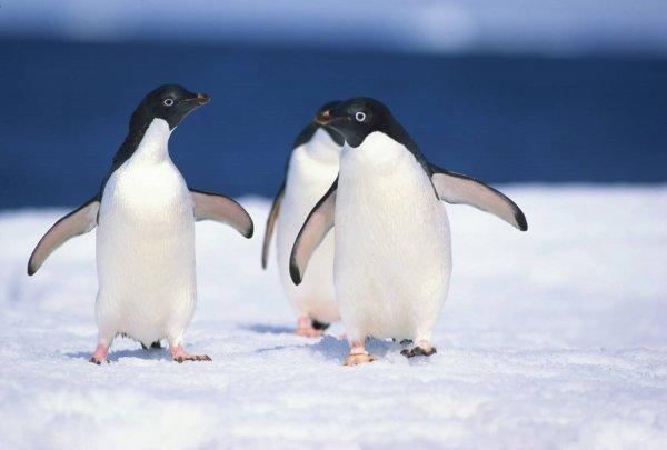 Ученые: Суперколония пингвинов оставалась скрытой около 3 тысяч лет