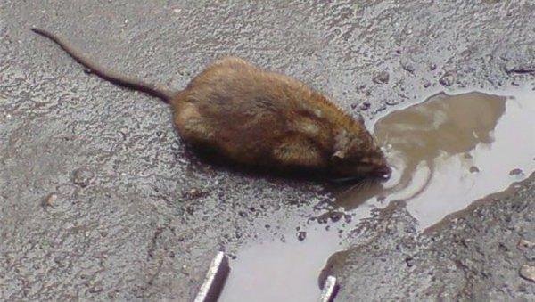 «Крысиный апокалипсис»: Бездействие ЖКХ приводит к серьёзным последствиям